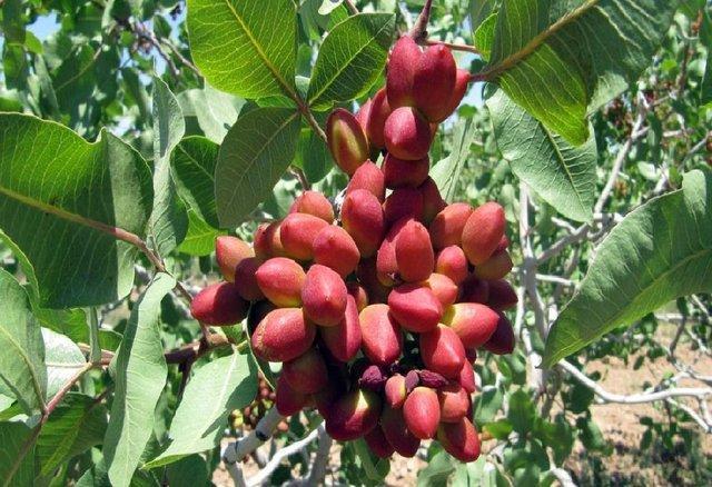 افزایش میزان فراوری محصول پسته در خراسان شمالی