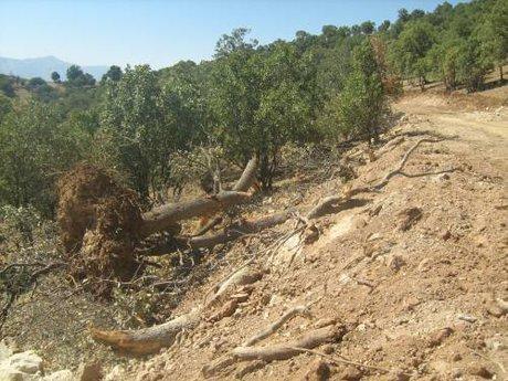 25 درصد جنگل های لرستان به بیماری زوال بلوط مبتلا هستند