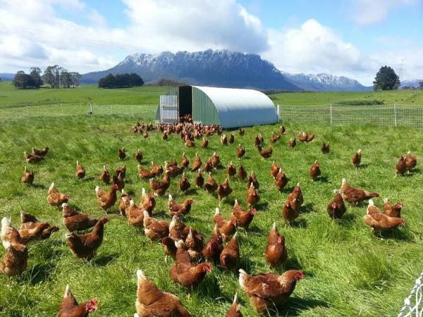 مرغ سبز ارگانیک است؟ گول واژه ارگانیک را نخورید